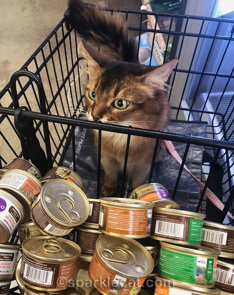 somali cat looking at cans of cat food