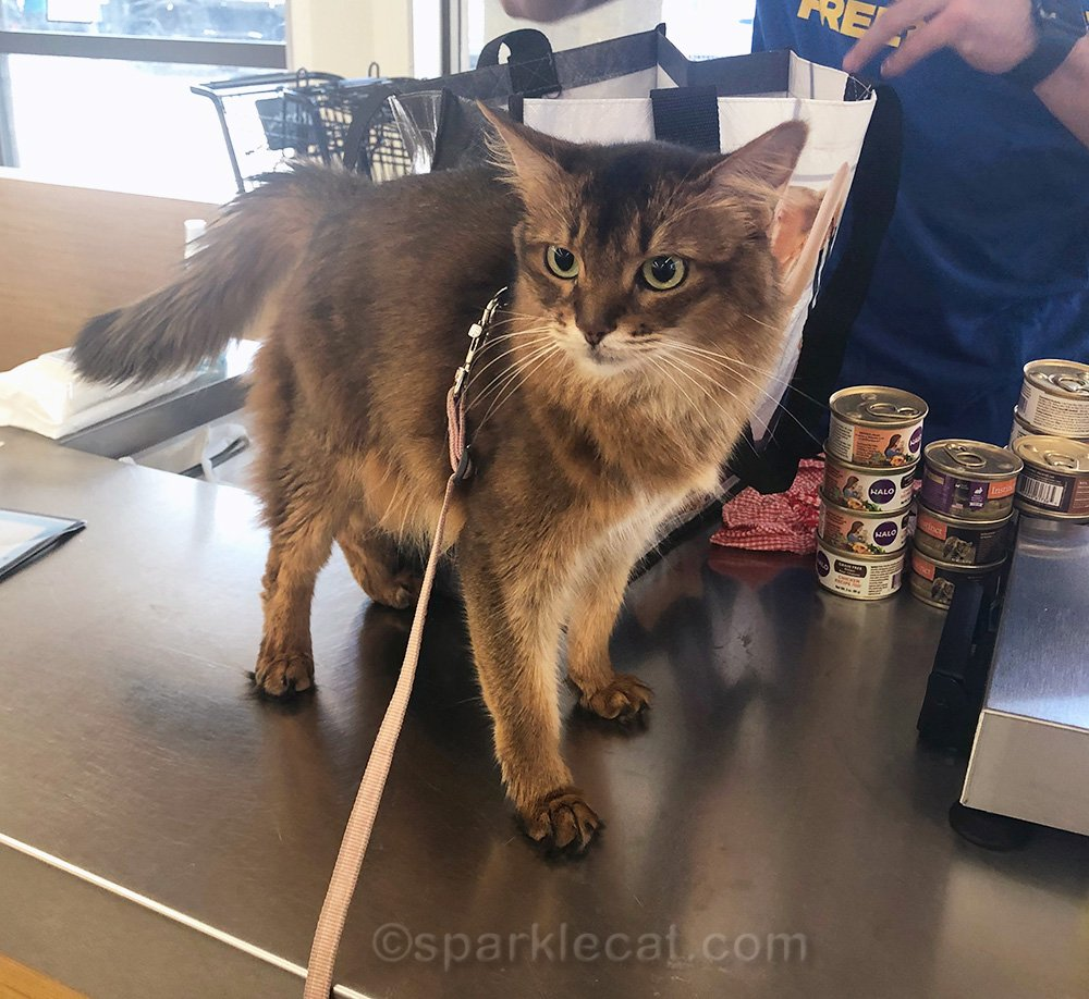 somali cat on checkout counter in pet store