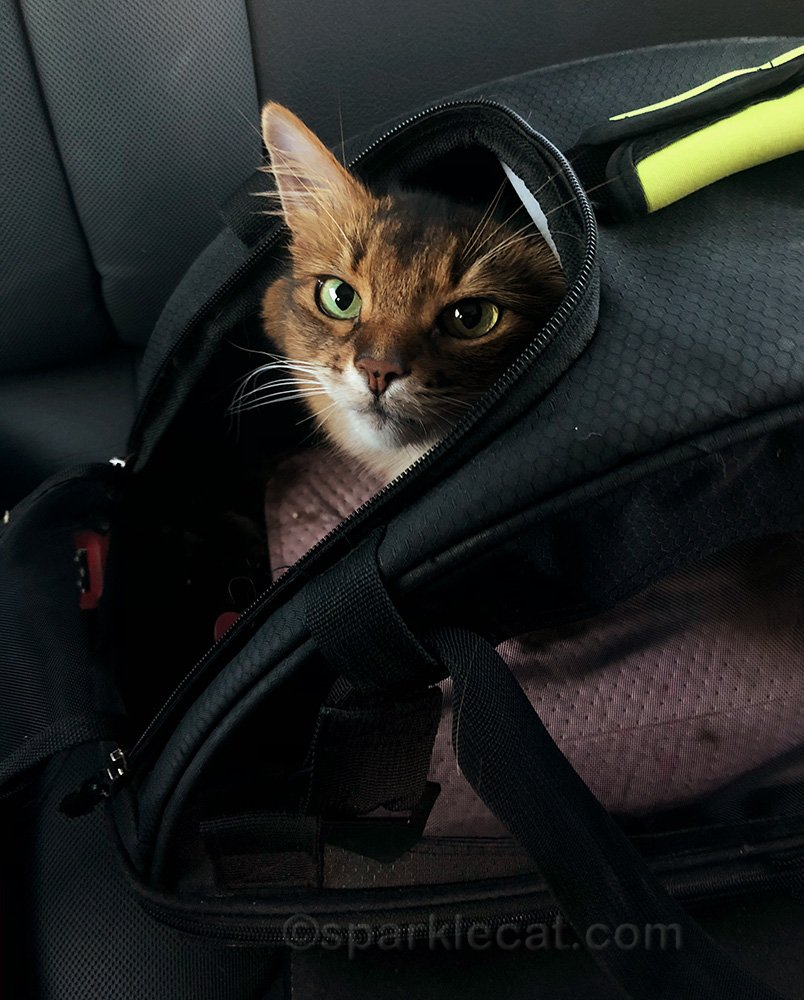 Somali cat in carrier, ready to go home