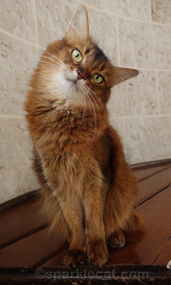 cute somali cat with head tilt