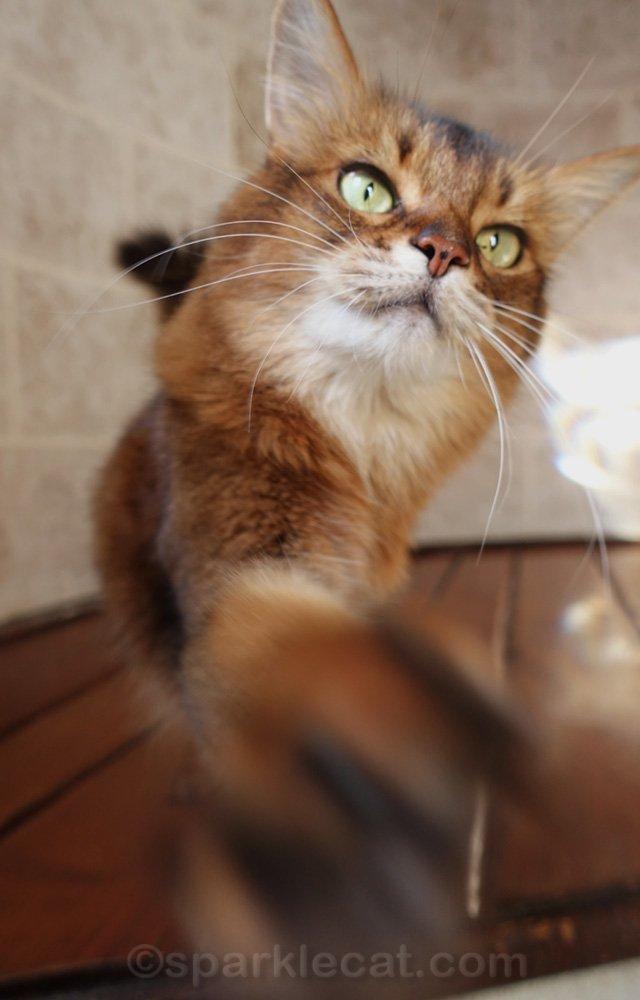 Somali cat reaching for camera