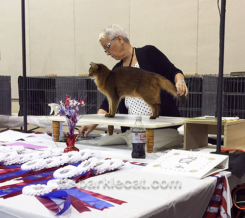somali cat being judged in judging ring at cat show
