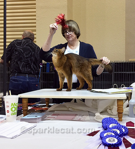 somali cat looking at toy in judging ring