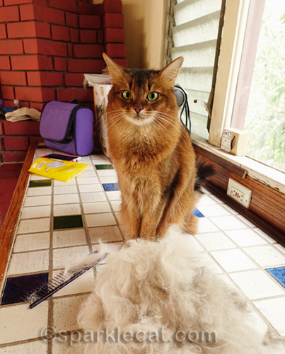 somali cat amazed by pile of ragdoll cat fur