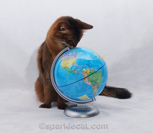 somali cat sniffing north pole on globe