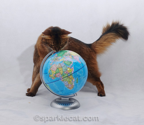 somali cat licking the globe