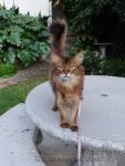 somali cat on concrete table with tail up