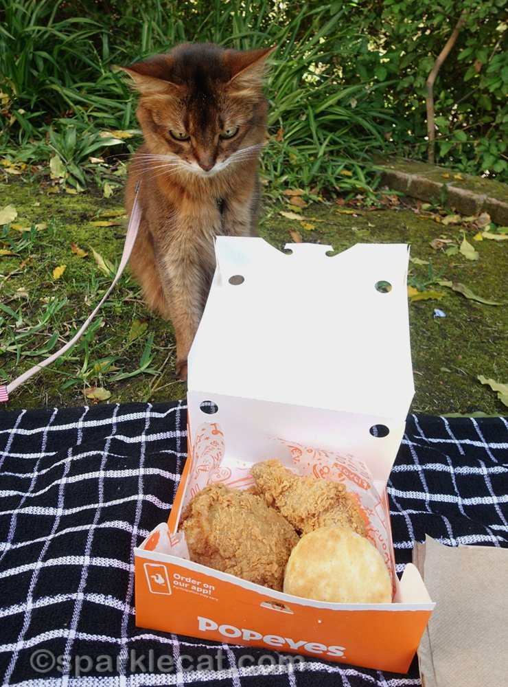 somali cat staring hungrily at picnic fried chicken