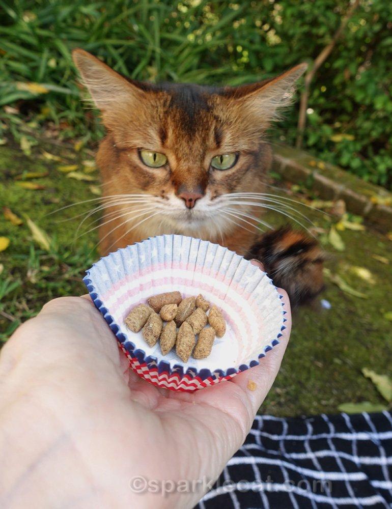Somali cat getting cat treats for Memorial Day picnic dessert