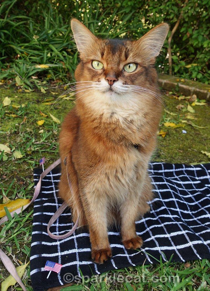 smiling Somali cat on picnic blanket