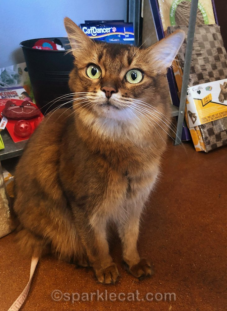 somali cat visiting the local pet shop