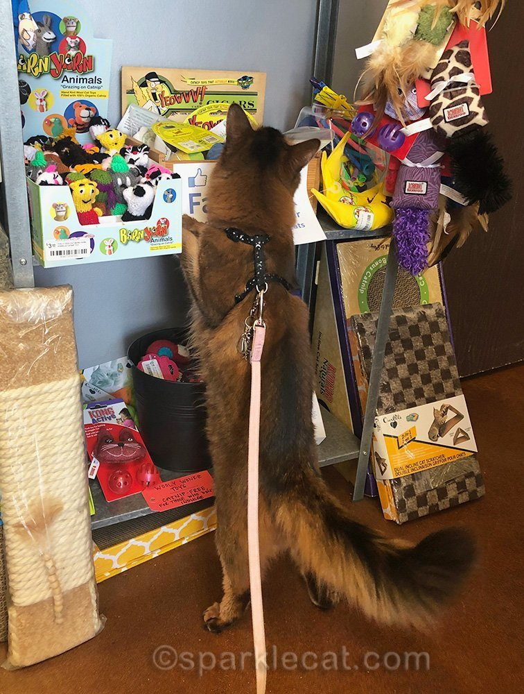 somali cat in cat toy section of pet shop