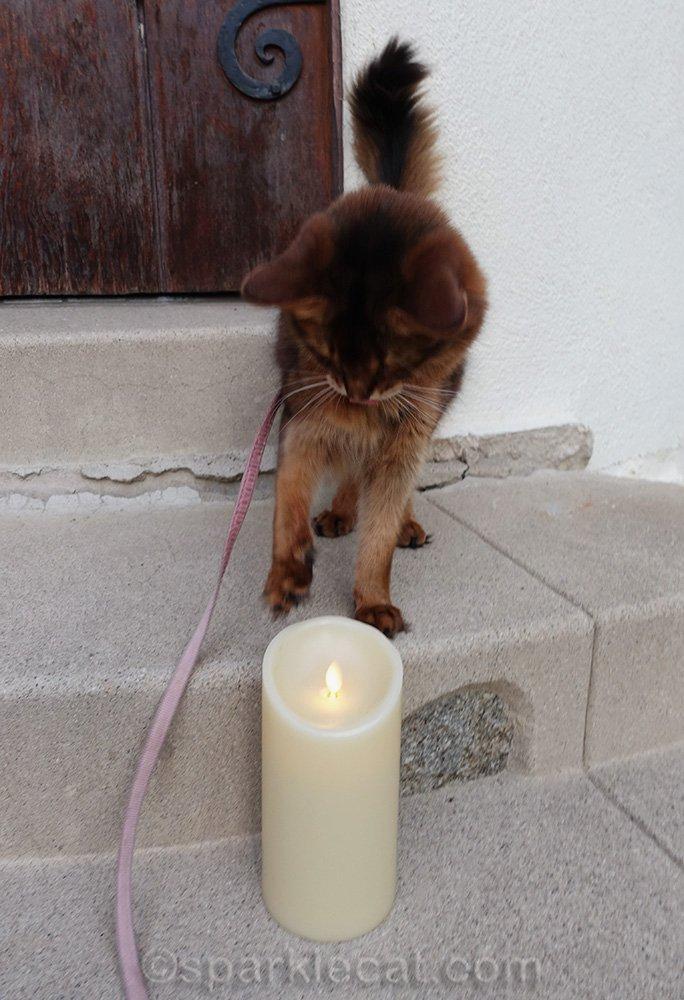 somali cat looking at fake candle