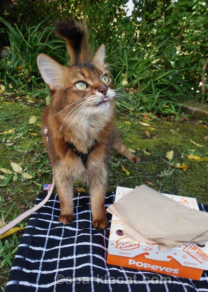 somali cat at picnic showing just a tiny sliver of tongue