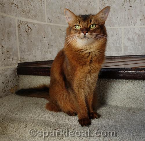 somali cat sitting in turret