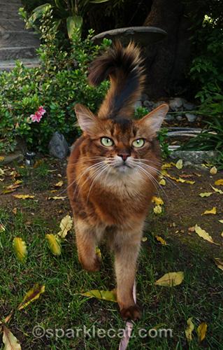 somali cat having some garden time