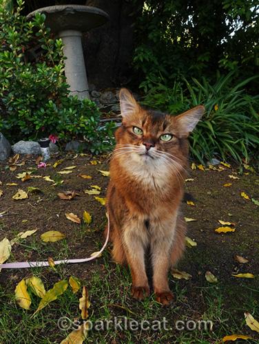 somali cat sitting in front garden