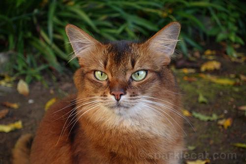 somali cat portrait in garden