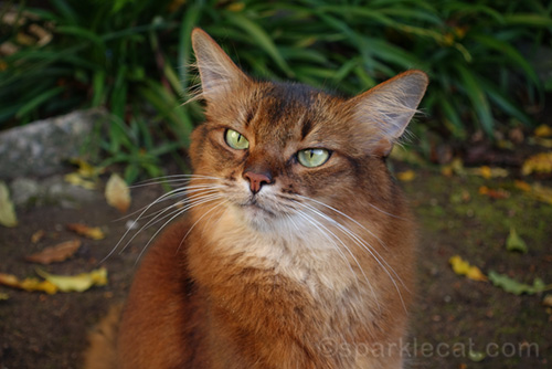 somali cat portrait from a slightly different angle
