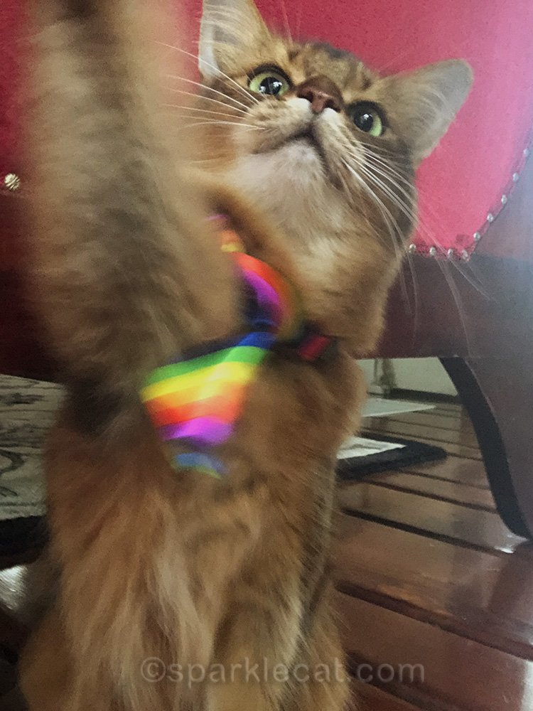 somali cat in rainbow tie reaching for iPhone