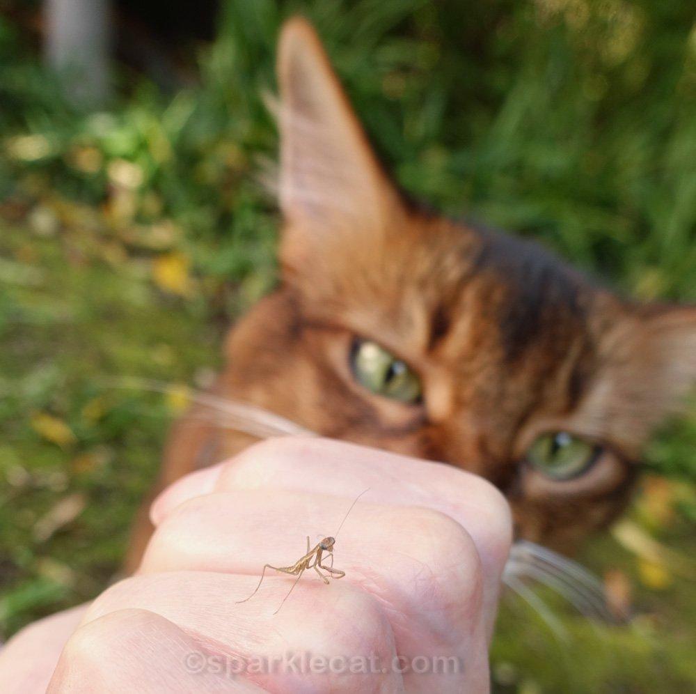 somali cat staring at baby praying mantis on human's hand