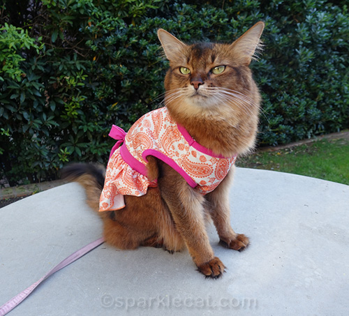 somali cat thinks the dress she is wearing is a fashion flop