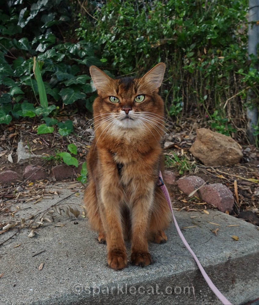 somali cat on leash out back