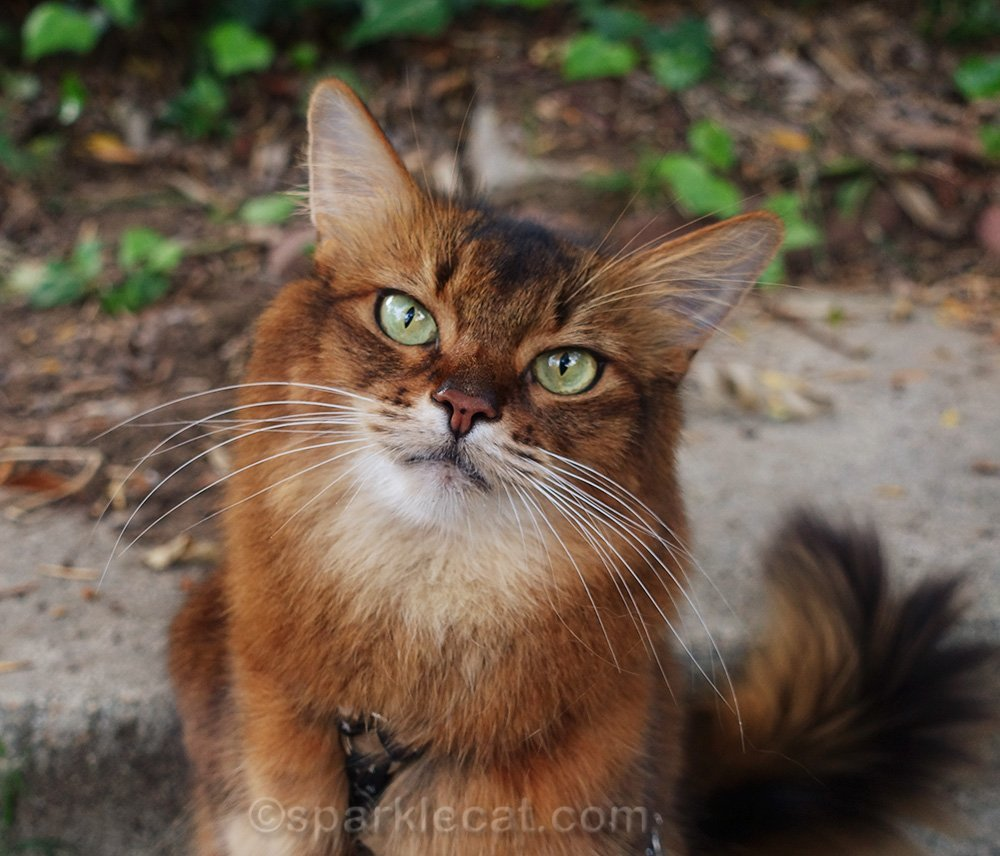 close up of Somali cat outside