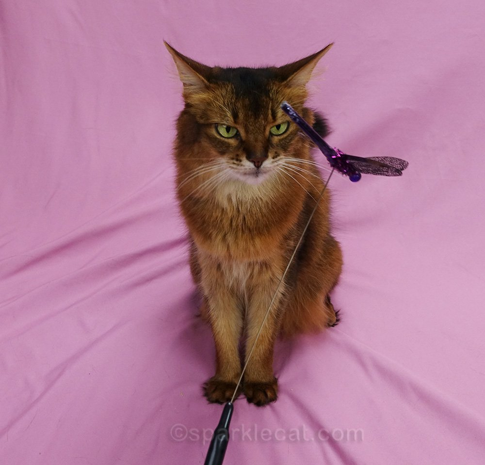 trying to tempt somali cat with cat toy