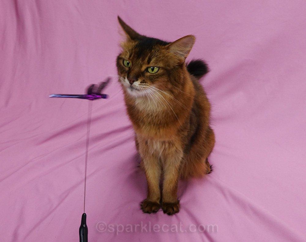 somali cat examining cat toy