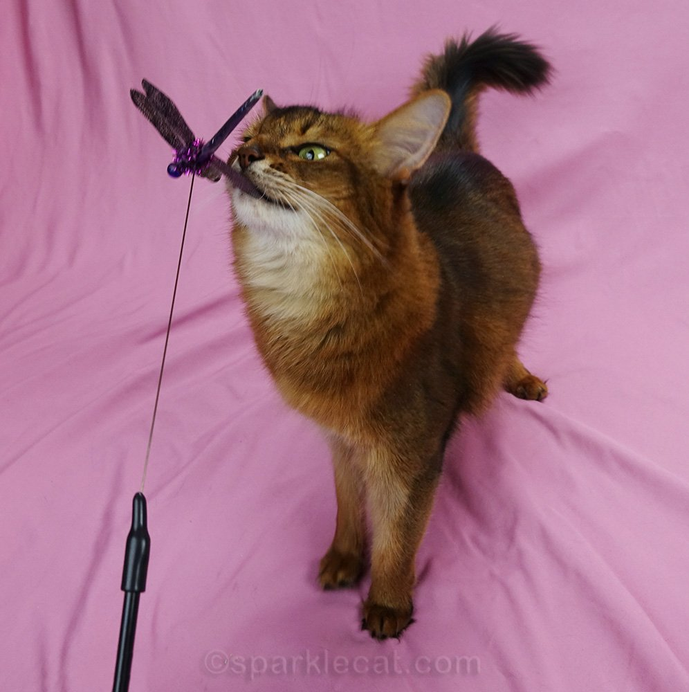 somali cat deciding to play with the cat toy just a little