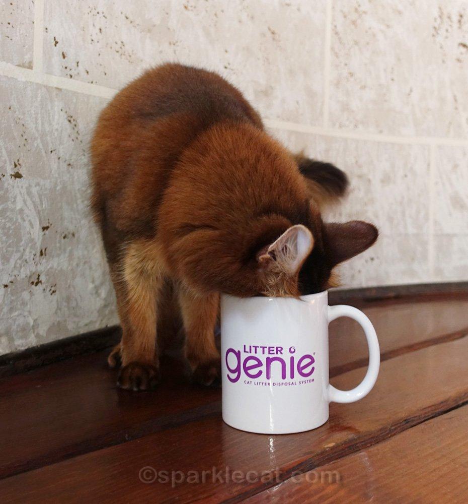 somali cat putting her head in the mug