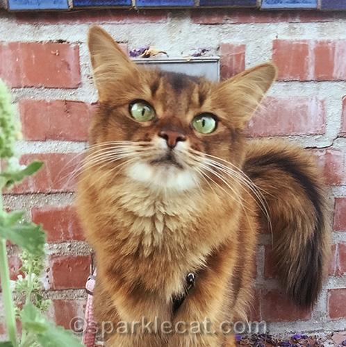 somali cat by her catnip garden
