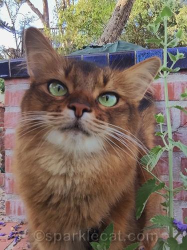 somali cat taking catnip selfies