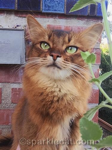 somali cat taking a catnip selfie