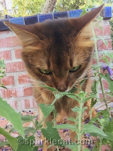 somali cat taking a whiff of fresh catnip