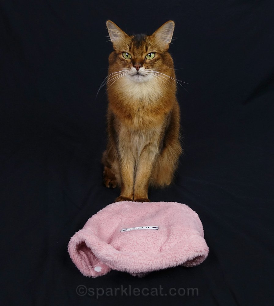 somali cat with new outfit to try on