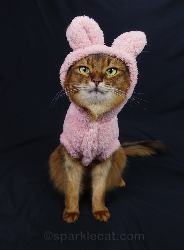 somali cat wearing a silly outfit with ears