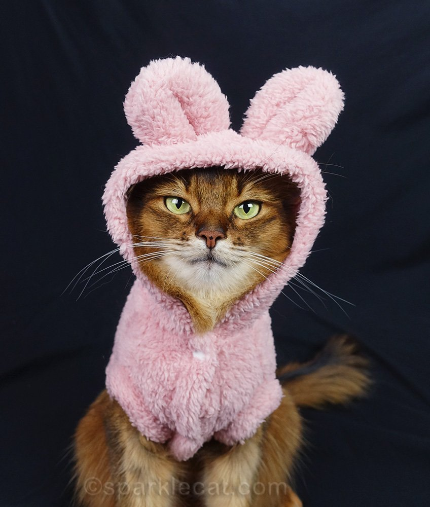 closer shot of somali cat wearing outfit