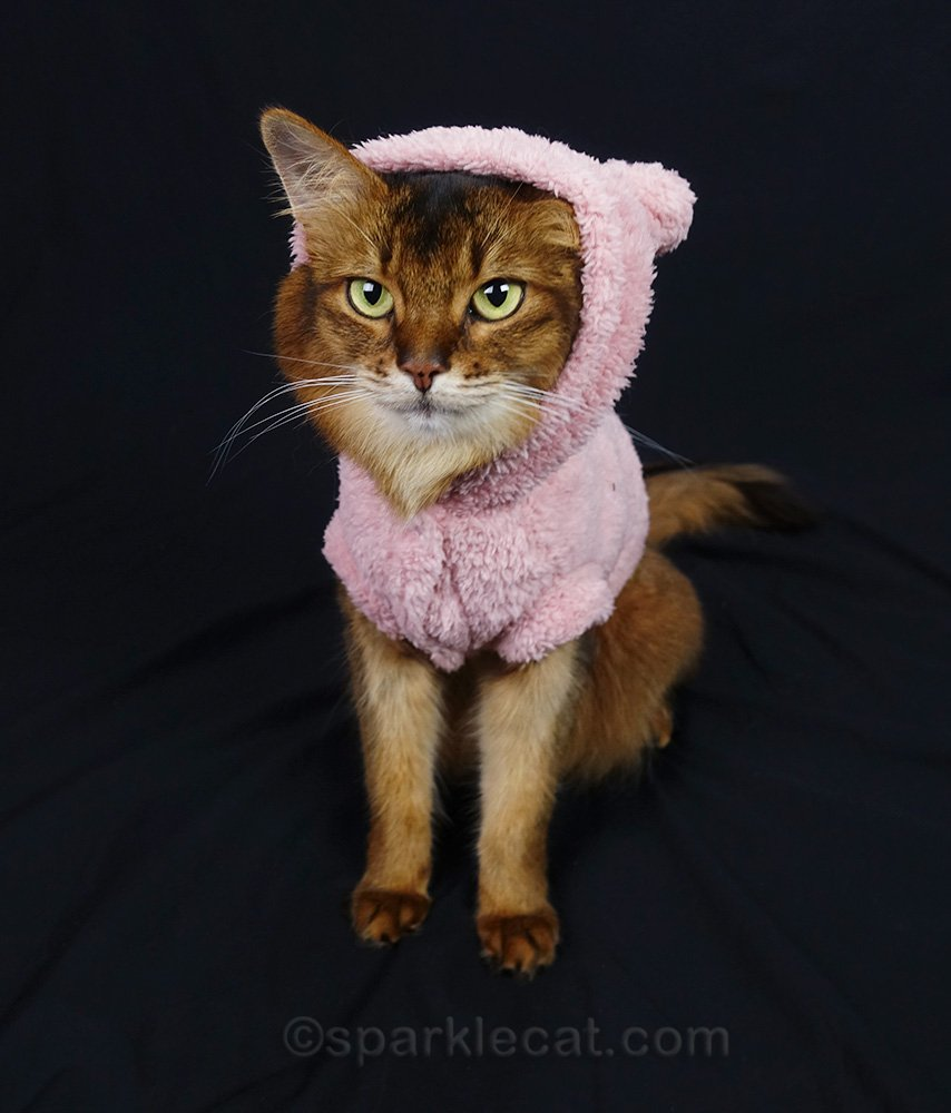 somali cat with hood coming off head