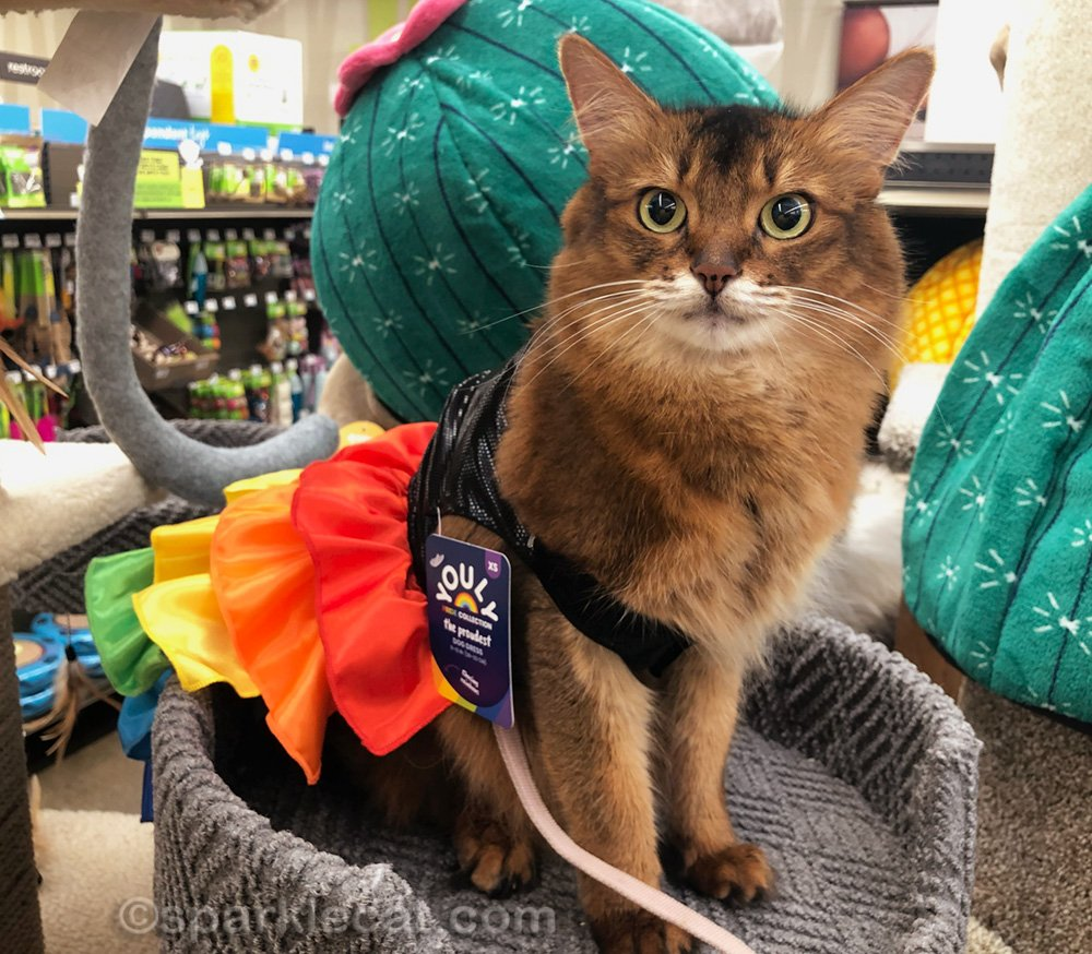 somali cat at pet store in ill-fitting pride month dress