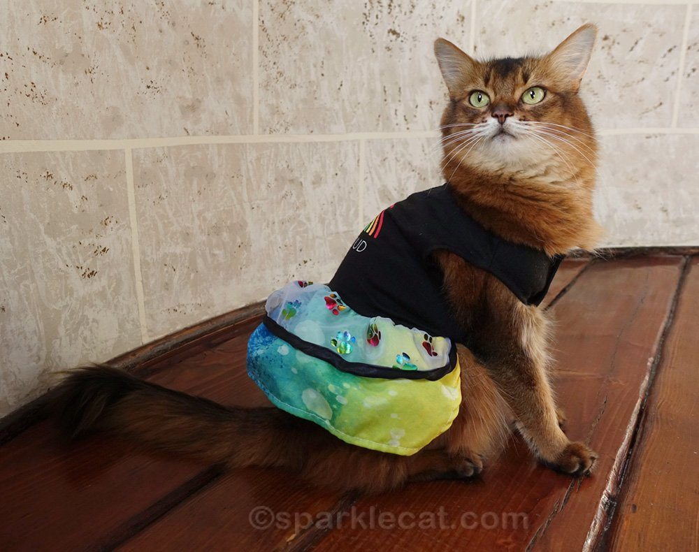 somali cat showing off the other side of the pride dress