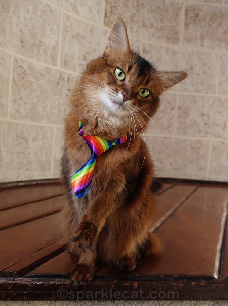 somali cat wearing a rainbow tie for pride month