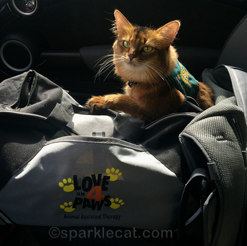 somali cat in her therapy cat vest, ready to go to work on Hug Your Cat Day