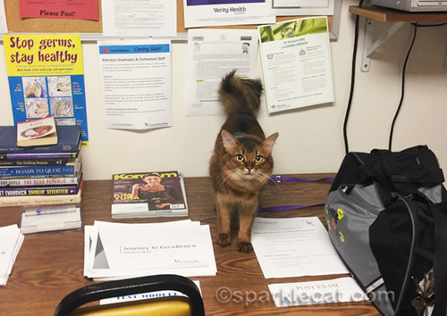 somali cat on table in hospital volunteer room