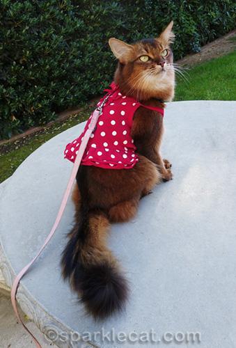 somali cat wearing red polka dot dress