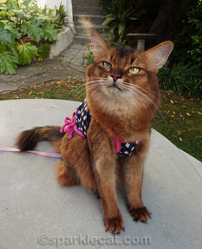 somali cat with cute black and pink tank top