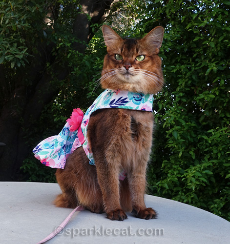 somali cat in pretty spring party dress