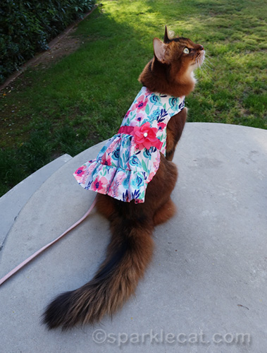 somali cat showing off back of dress, with flower accent