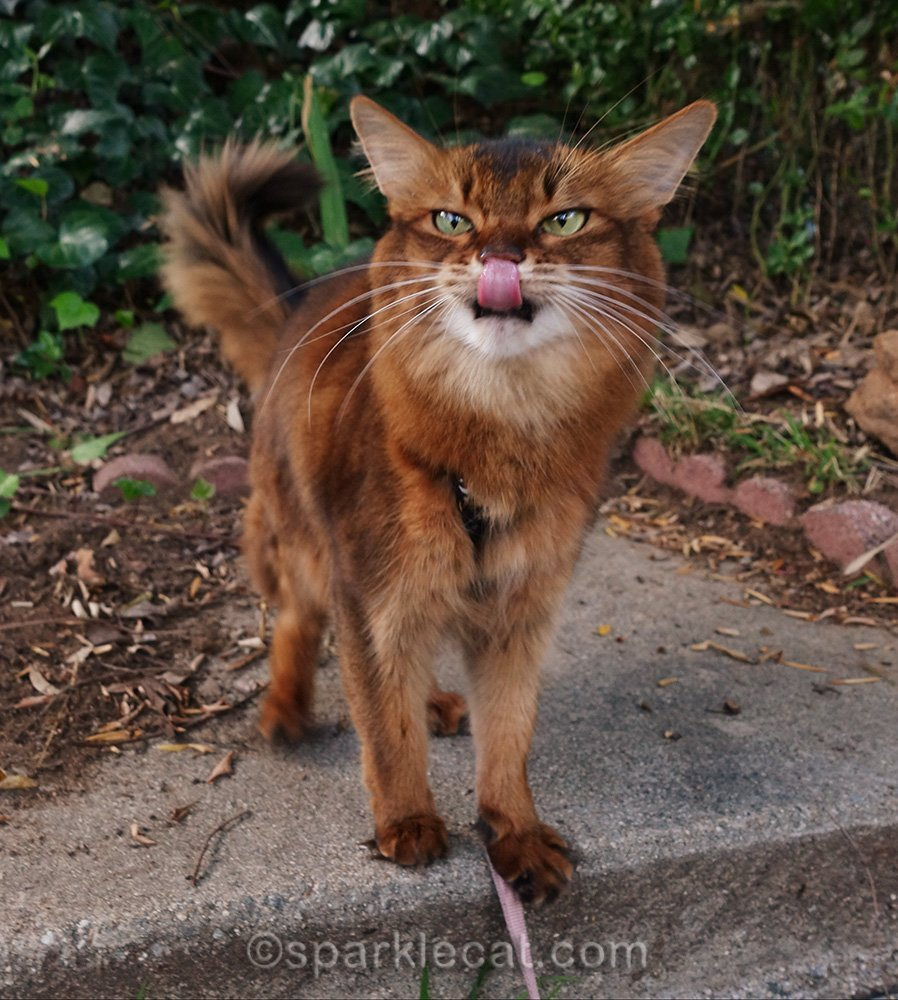 somali cat in garden with tongue out